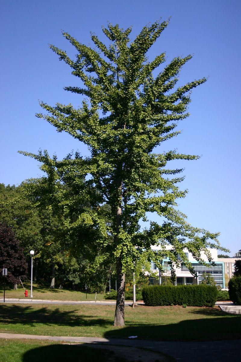 Растение гинкго билоба - полезные свойства и правила применения